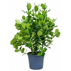 Клузия rosea princess bush 3pp Диаметр горшка — 35 см Высота растения — 120 см