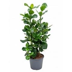 Клузия rosea tuft Диаметр горшка — 35 см Высота растения — 120 см