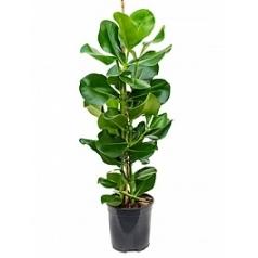 Клузия rosea tuft Диаметр горшка — 19 см Высота растения — 90 см