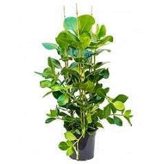 Клузия rosea tuft Диаметр горшка — 27 см Высота растения — 120 см