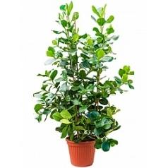 Клузия rosea tuft Диаметр горшка — 40 см Высота растения — 180 см