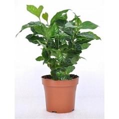 Кофейное дерево Арабика Диаметр горшка — 12 см Высота растения — 30 см
