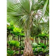 Коперниция (пальма) baileyana stem Диаметр горшка — 80 см Высота растения — 350 см