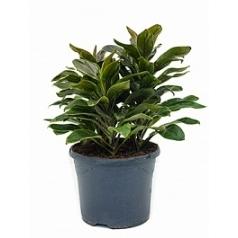 Кордилина cameroon tuft 3pp Диаметр горшка — 23 см Высота растения — 60 см