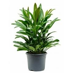 Кордилина glauca tuft 3pp Диаметр горшка — 26 см Высота растения — 60 см