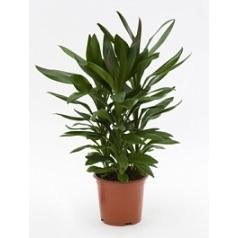 Кордилина glauca tuft Диаметр горшка — 19 см Высота растения — 60 см