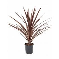 Кордилина red star Диаметр горшка — 17 см Высота растения — 75 см