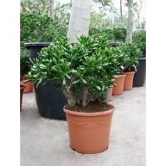 Крассула gollum bush Диаметр горшка — 35 см Высота растения — 70 см