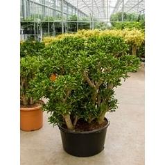 Крассула gollum bush Диаметр горшка — 67 см Высота растения — 130 см