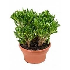 Крассула hobbit bush Диаметр горшка — 25 см Высота растения — 35 см