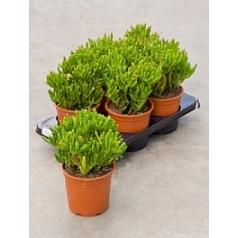 Крассула horntree Диаметр горшка — 17 см Высота растения — 30 см