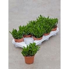 Крассула horntree Диаметр горшка — 12 см Высота растения — 22 см