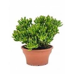 Крассула horntree bush Диаметр горшка — 25 см Высота растения — 40 см