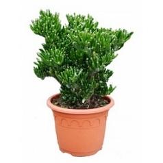 Крассула horntree bush Диаметр горшка — 30 см Высота растения — 60 см