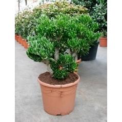 Крассула horntree bush Диаметр горшка — 35 см Высота растения — 80 см