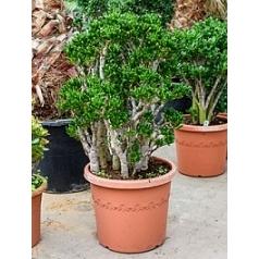 Крассула horntree bush Диаметр горшка — 48 см Высота растения — 110 см