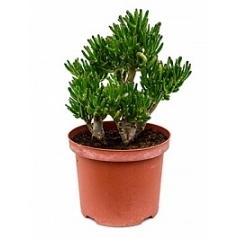 Крассула horntree Диаметр горшка — 23 см Высота растения — 40 см