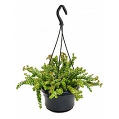 Крассула hottentot hanging plant Диаметр горшка — 14 см Высота растения — 15 см