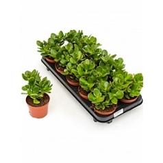 Крассула ovata Диаметр горшка — 10.5 см Высота растения — 20 см