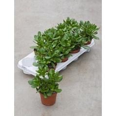 Крассула ovata Диаметр горшка — 12 см Высота растения — 25 см