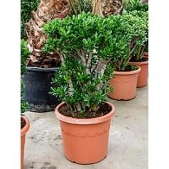 Крассула ovata bush Диаметр горшка — 48 см Высота растения — 110 см