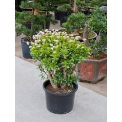 Крассула ovata bush Диаметр горшка — 40 см Высота растения — 80 см