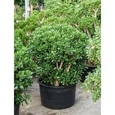 Крассула ovata bush Диаметр горшка — 64 см Высота растения — 120 см