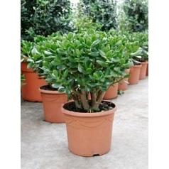Крассула ovata bush Диаметр горшка — 30 см Высота растения — 50 см