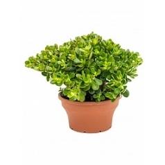 Крассула ovata minor bush Диаметр горшка — 25 см Высота растения — 55 см