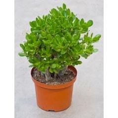 Крассула ovata Диаметр горшка — 23 см Высота растения — 35 см