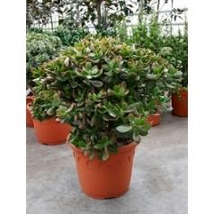 Крассула sunset bush Диаметр горшка — 35 см Высота растения — 70 см