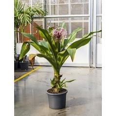 Кринум asiaticum purpel tuft Диаметр горшка — 40 см Высота растения — 140 см