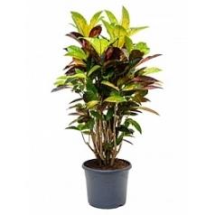 Кротон (кодиеум) iceton branched Диаметр горшка — 29 см Высота растения — 100 см