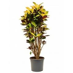 Кротон (кодиеум) iceton branched Диаметр горшка — 31 см Высота растения — 135 см