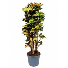 Кротон (кодиеум) iceton branched Диаметр горшка — 35 см Высота растения — 170 см