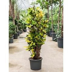 Кротон (кодиеум) iceton branched Диаметр горшка — 40 см Высота растения — 190 см