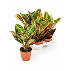 Кротон (кодиеум) petra Диаметр горшка — 12 см Высота растения — 30 см