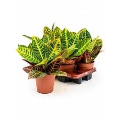 Кротон (кодиеум) petra 3pp Диаметр горшка — 15 см Высота растения — 35 см