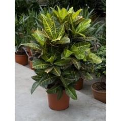 Кротон (кодиеум) petra branched Диаметр горшка — 30 см Высота растения — 100 см
