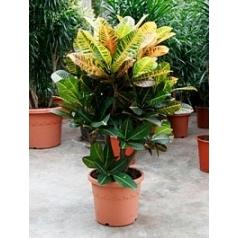 Кротон (кодиеум) petra branched Диаметр горшка — 27 см Высота растения — 80 см