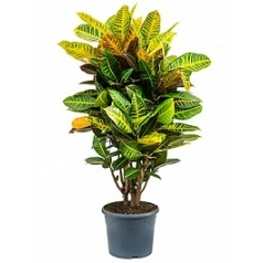 Кротон (кодиеум) petra branched Диаметр горшка — 29 см Высота растения — 110 см