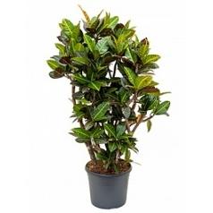 Кротон (кодиеум) petra branched Диаметр горшка — 31 см Высота растения — 120 см