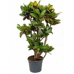 Кротон (кодиеум) petra branched Диаметр горшка — 35 см Высота растения — 150 см