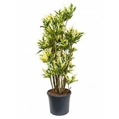 Кротон (кодиеум) tamara branched Диаметр горшка — 31 см Высота растения — 130 см