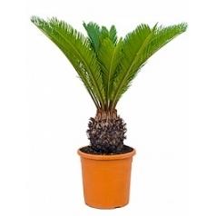 Цикас revoluta stem (10) Диаметр горшка — 24 см Высота растения — 80 см