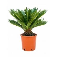 Цикас revoluta stem (10) Диаметр горшка — 20 см Высота растения — 60 см