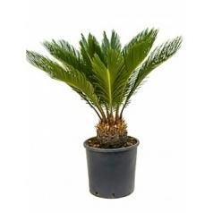 Цикас revoluta stem (10) Диаметр горшка — 26 см Высота растения — 80 см