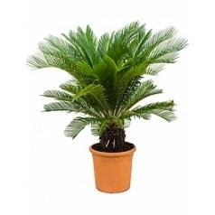 Цикас revoluta stem (15-20) Диаметр горшка — 28 см Высота растения — 100 см