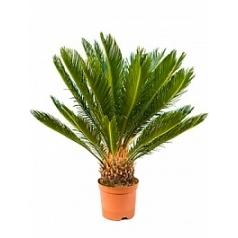 Цикас revoluta stem (20) Диаметр горшка — 17 см Высота растения — 70 см