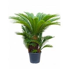 Цикас revoluta stem multi Диаметр горшка — 31 см Высота растения — 100 см